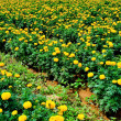 Yellow flower farm — Stock Photo #5861590