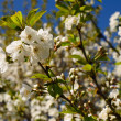 Plum blossom — Stock Photo #5687976