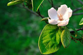 Quince blooming — Stockfoto