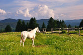White horse in mountain — Stock Photo