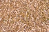 Barley background — Stock Photo