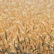 Cereal field — Stockfoto #6504406