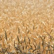 Stockfoto: Cereal field