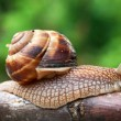 Crawling snail — Stock Photo #6316259