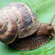 Crawling snail — Stock Photo #6316287
