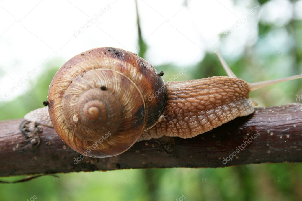Snail crawling at a branch  Stock Photo #6316265