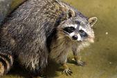 Sad raccoon — Stock Photo