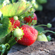 Closeup of fresh organic strawberries — Stock Photo #6402593