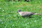 Paloma cuello en jardín — Foto de Stock