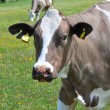 Stock Photo: Brown and white cow