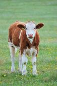 Cow in field — Stock fotografie