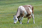 Brown and white cow in field — Stock Photo