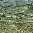Stock Photo: Olive groves