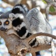 Lemur sitting on a tree - Stock Photo