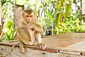 Scimmia sedersi sul tavolo — Foto Stock