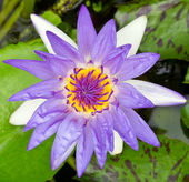 Purple water lily — Stock Photo