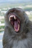 Crab-eating macaque yawning — Stockfoto