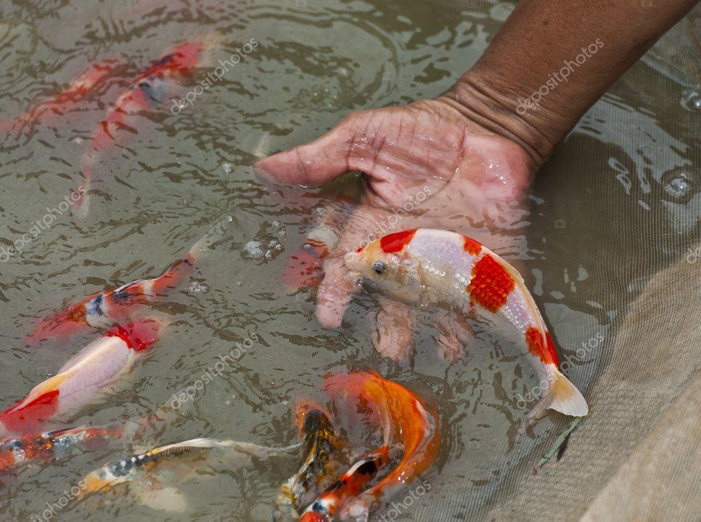 Choosing beautiful koi fish stock photo topstep07 5994938 for Beautiful koi fish