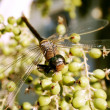 Dragonfly on a branch of palm tree — Stock Photo