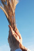 Holding a golden wheat — Stock Photo