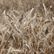 Field of ripe rye or wheat — Stock Photo