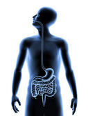 The human body - Digestive system — Stock Photo