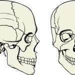 Human skull — Stock Vector #6305212