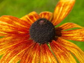 Funny rudbeckia — Stock Photo