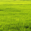 Ricefield — Stock Photo #5939589