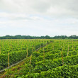 Vegetable Farm — Stock Photo #5940006