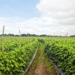 Vegetable Farm — Stock Photo #5944862
