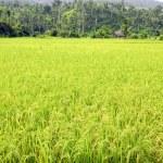 Ricefield — Stock Photo
