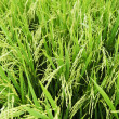 rice stalks — Stock Photo