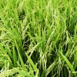 Rice Stalks — Stock Photo #6257644
