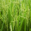 Rice Stalks — Stock Photo #6257654