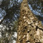 Pine Tree — Stock Photo #6262065