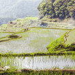ricefield — Stock Photo #6264784