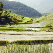 Ricefield — Stock Photo #6264945