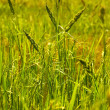 Stock Photo: weed on ricefield
