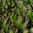 Ricefield — Stock Photo #6267542