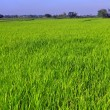 ricefield — Stock Photo