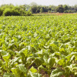 Tobacco Plantation — Stock Photo #6272415