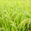 Stock Photo: Rice Stalks