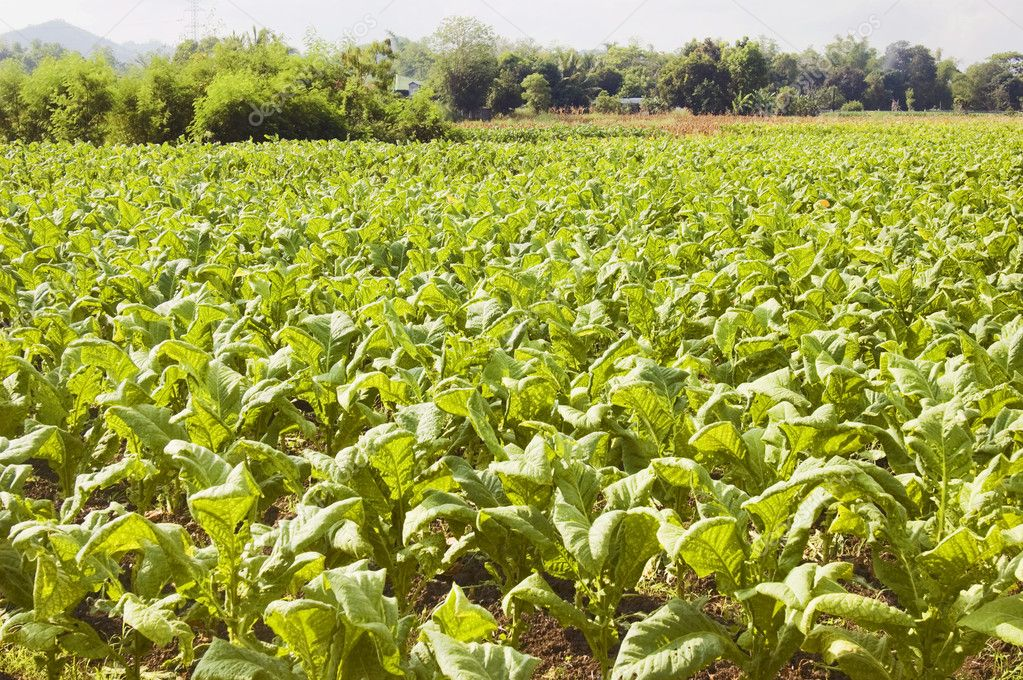 Tobacco plantation in Ilocos Province, Philippines — Stock Photo #6272415