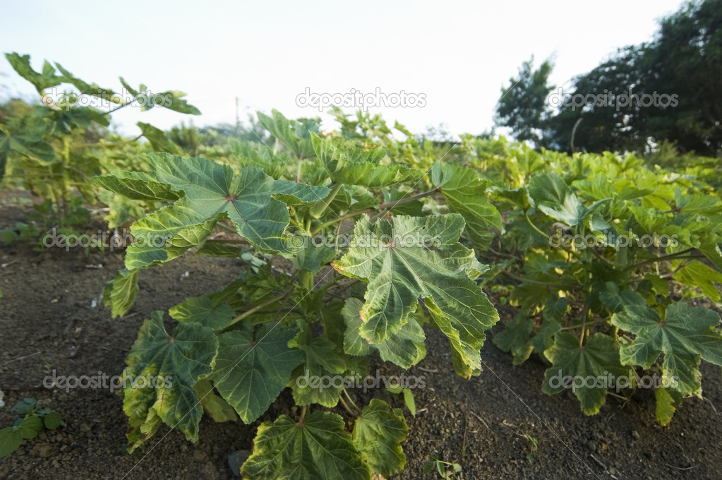 Okra plants in Cavite, Philippines — Stock Photo #6272433