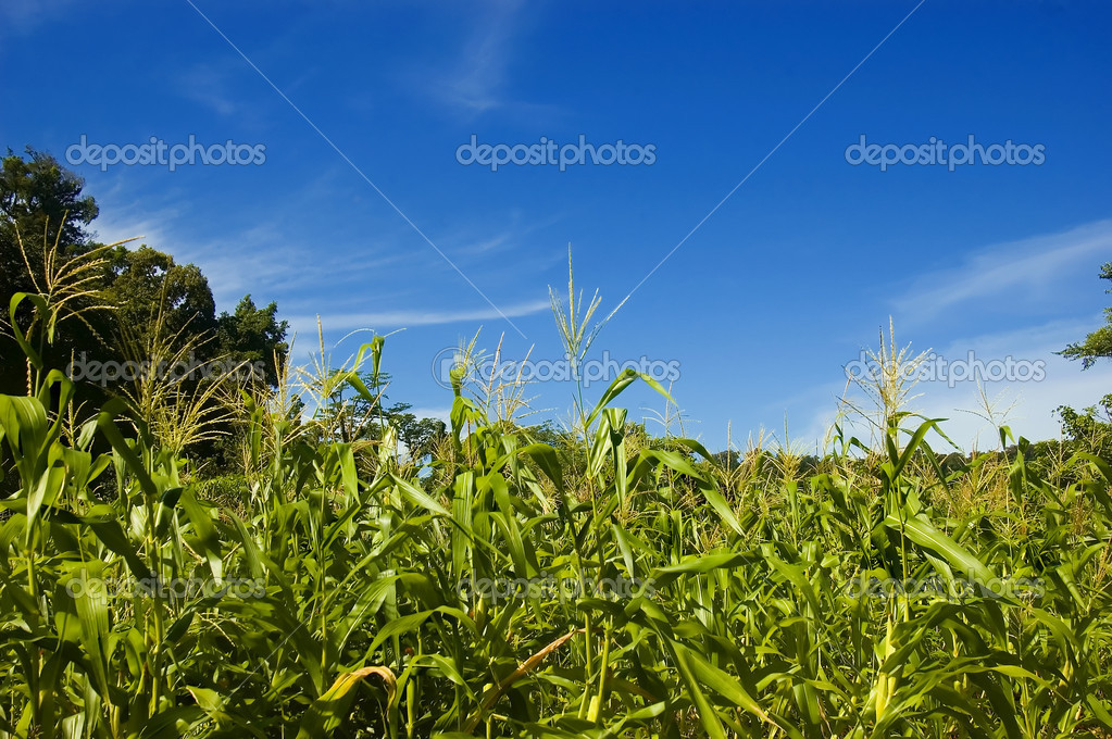 Corn plantation in Palanan, Isabela, Philippines — Stock fotografie #6272486