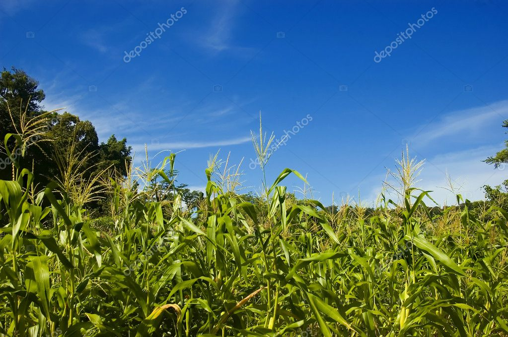 Corn plantation in Palanan, Isabela, Philippines — Foto de Stock   #6272486