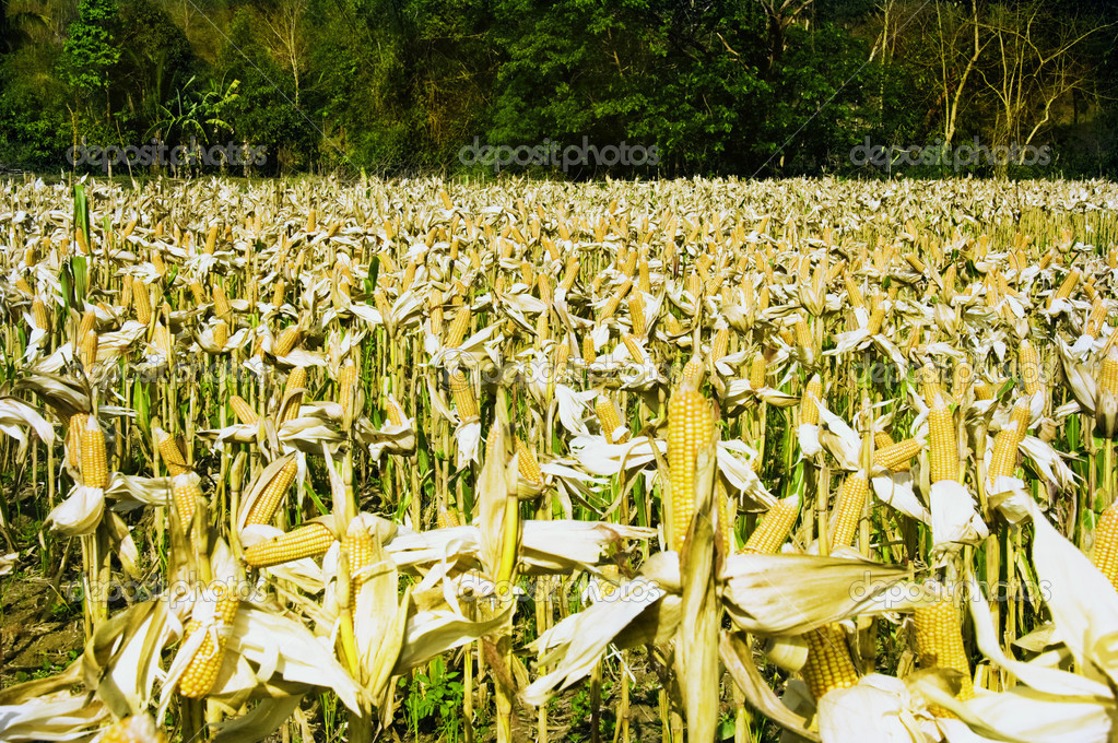 Yellow corn ready for harvest in Ilocos Province, Philippines — Stock Photo #6272633