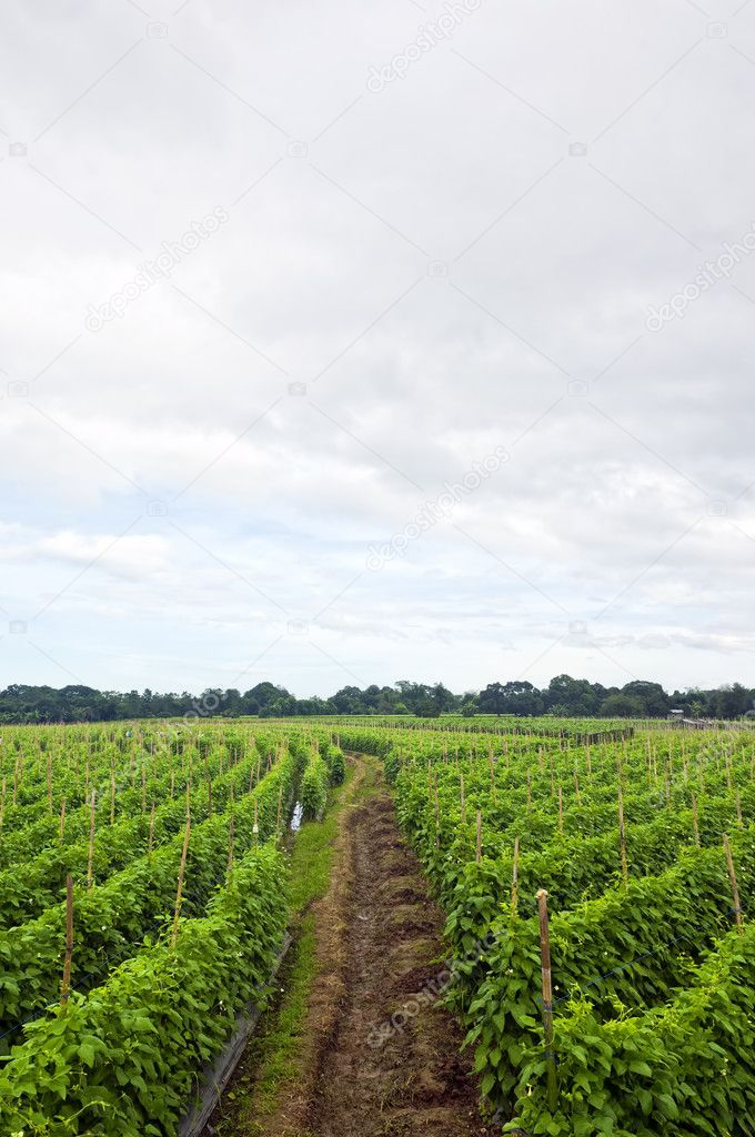 String beans plantation North of Luzon, Philippines — Stock Photo #6272652