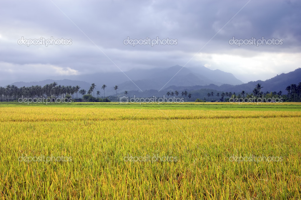 A beautiful rice field in Aurora Province, Philippines — Stock Photo #6272777